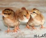 bruine-kuikens-brown-chick