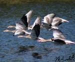 grauwe-ganzen-in-vlucht