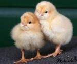 kuikens-chicks