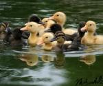 kuikens-in-het-water