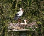 ooievaars-in-nest