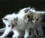 ragdoll-kittens-wallpaper