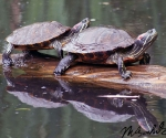 turtels-schildpadden